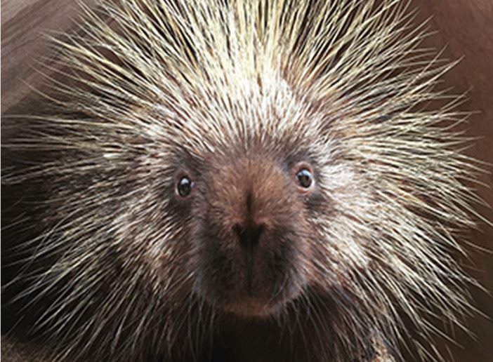 Porcupine looking at the camera